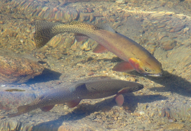 trout (640x438)